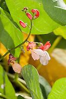 Garten-Bohne, Gartenbohne, Bohne, Phaseolus vulgaris, common bean, string bean, field bean, flageolet bean, French bean, garden bean, Haricot