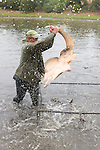 Sean Van Sommeran Putting Shovelnose Guitarfish Into Pen