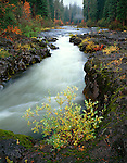 Rogue River National Forest, OR<br /> A young willow grows on the basalt banks of the Rogue Rliver flowing through an autumn forest