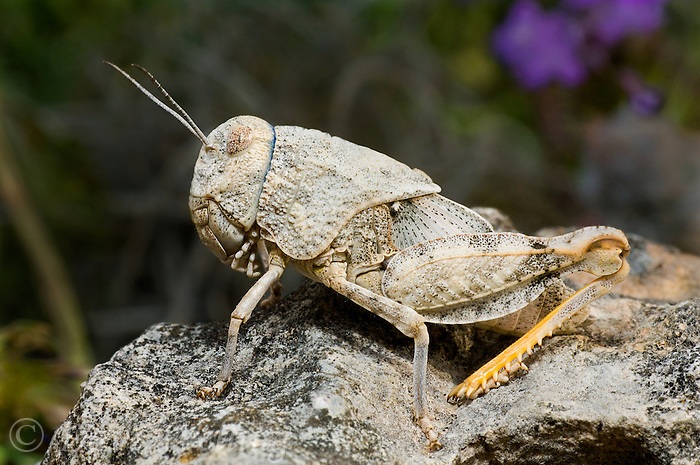 361100006 a wild chihuahua lubber grasshopper phrynotettix tshivavensis sits on a granite rock on a private ranch in the hill country of central texas