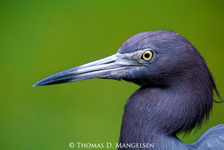 Portrait of a little blue heron in Florida