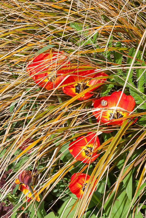 Tulips (red, orange eye) in spring bulb bloom with snail mollusk garden insect pest amid ornamental grass Carex flagellifera