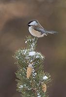 Siberian tit, Poecile cinctus, winter, Finland