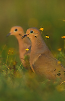 Mourning Dove, Zenaida macroura,pair, Lake Corpus Christi, Texas, USA