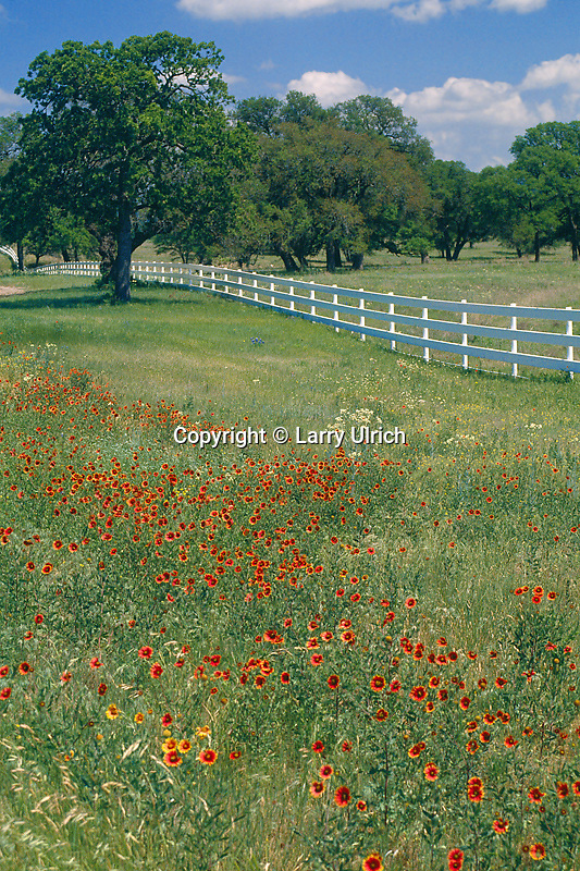 Indian Blanket (Gaillardia pulchella)<br />