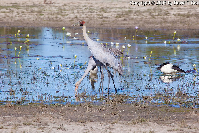Brolga w chick, near Normanton, Queensland, Australia