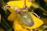 Ginster-Baumwanze, Ginsterbaumwanze, an Besenginster, Ginster, Piezodorus lituratus, Piezodorus degeeri, Gorse Shieldbug, Baumwanzen, Pentatomidae, stink bugs, an Sarothamnus scoparius