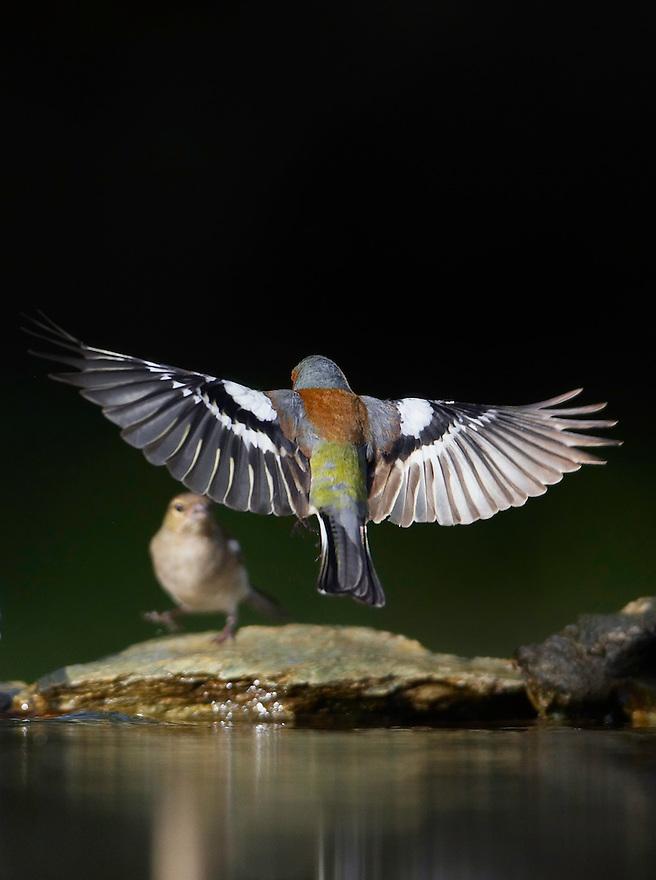 Chaffinch (Fringilla coelebs) Pusztaszer Nature Reserve, Hungary