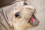 San Simeon, California; a young Northern Elephant Seal (Mirounga angustirostris) pup rests on the sandy beach, vocalizing to call for it's mother