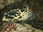 Apo Reef, Sulu Sea -- Cloe-up of the head of a hawkbill sea turtle sleeping in an underwater cave at night.