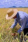 Colheita mecanizada de arroz em Pacaraima . Reserva Indigena Raposa do Sol. Roraima. 2004.  Foto de Alf Ribeiro.