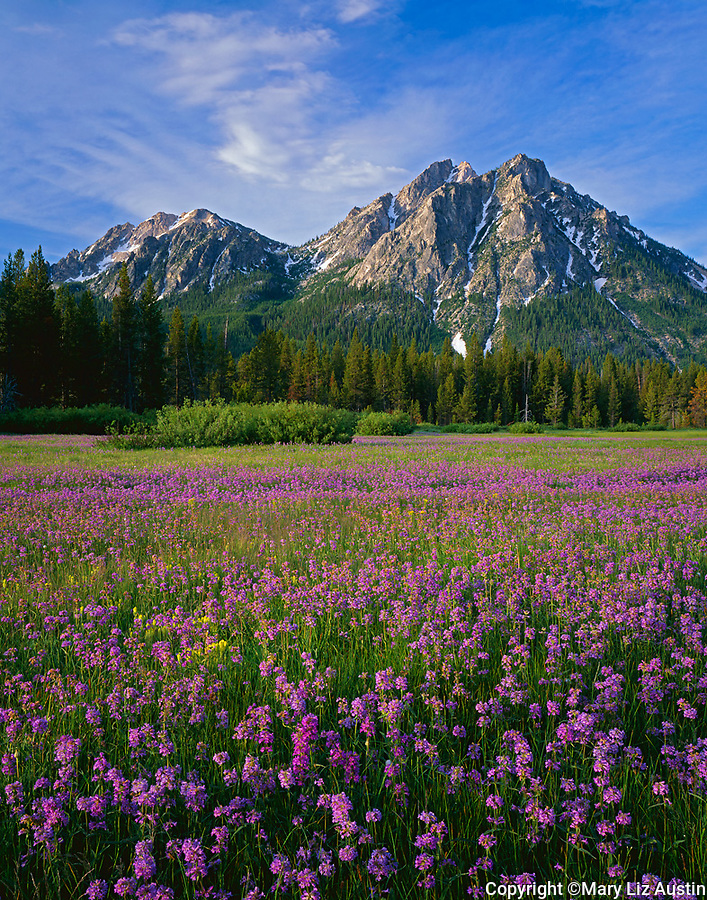 Sawtooth NRA, ID: Meadow of Rydberg's penstemon (Penstemon rydergii) beneath the peaks of Mount McGown