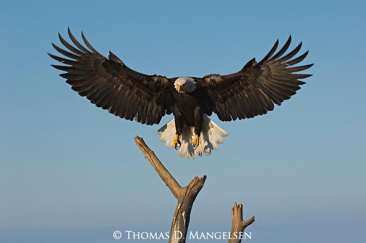 A bald eagle lands on a tree at Kachemak Bay in Homer, Alaska.