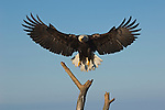 A bald eagle lands on a tree at Kachemak Bay in Homer, Alaska.