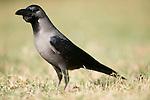 House Crow, Corvus splendens, Keoladeo Ghana National Park Rajasthan, India, formerly known as the Bharatpur Bird Sanctuary, UNESCO World Heritage Site.India....
