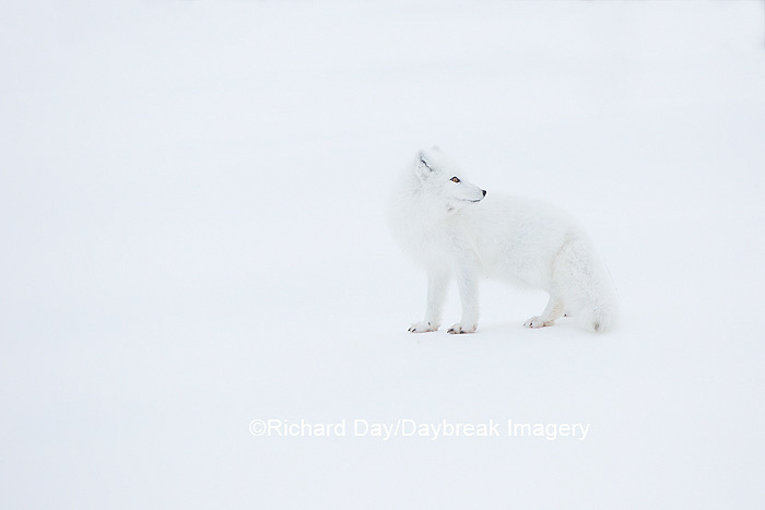 01863-01714 Arctic Fox (Alopex lagopus) at food cache, Cape Churchill, Wapusk National Park, Churchill, MB Canada