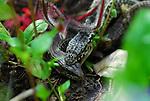Lizards in Bonny Doon