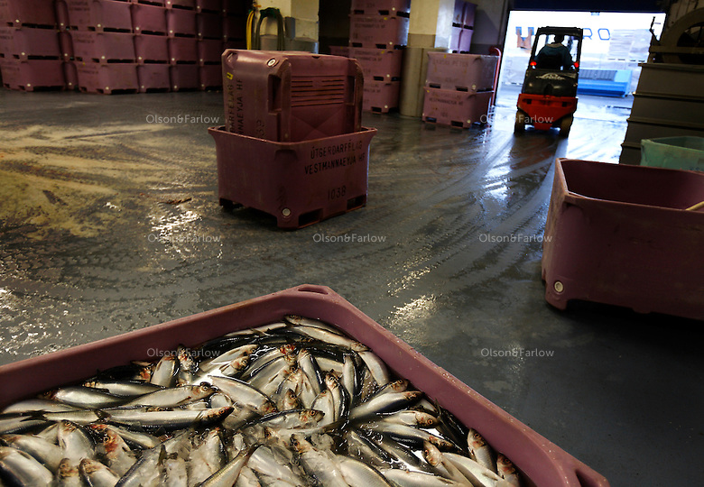 Fish factory called Vinnslustodin HF..Hafnargotu 2.900 Vestmannaeyjar Iceland.Manager is Sigurgeir Brynjar Kristgeirsson +354 488 8004  Mobile: 897 9607  Email:  binni@vsv.is..This factory can produce 350 tons of Herring filets per day with 30 people.  If they had upgraded equipment, they could do it with 5 people.  Photos in control room... guys operating equipment that sucks herring out of boats with big vacuum hoses.  This factory uses a geothermal cleanse for their saltwater to purify it... There is a limited supply of fresh water on the island..My fixer for Vestmannaeyjar Islands is Arni Johnsson  +354 894 1300..Main Contact for Iceland is fixer Friddi Helgason, email kvik@centrum.is   phones:  +354 895 6001 and 562 4703