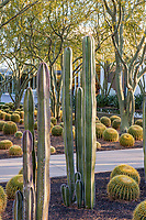 Pachycereus marginatus - Mexican Fence Post Cactus; Sunnylands garden, Southern California