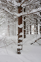 In the snowy cold, the pine woods are hushed and beautiful.