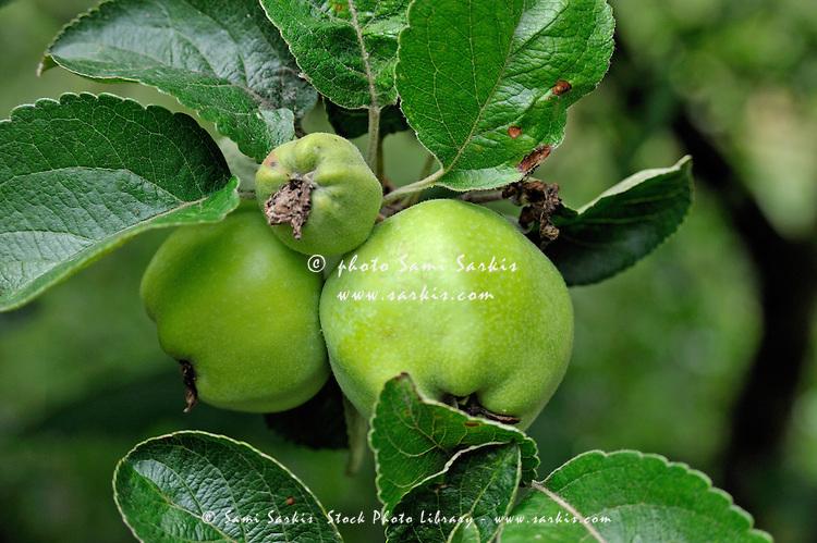 Green non-mature apple on tree