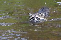 """Waschbär, knapp 3 Monate altes Jungtier sammelt erste Erfahrungen mit dem Element Wasser, erste Schwimmversuche, Tierkind, Tierbaby, Tierbabies, Waschbaer, Wasch-Bär, Procyon lotor, Raccoon, Raton laveur, """"Frodo"""""""