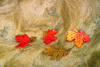 Maple leaves, fall colors, on the sand of the Virgin River in Zion National Park, Eastern Section. Utah, Zion National Park.