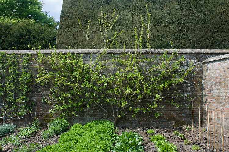 An overgrown fan-trained plum in need of summer pruning.