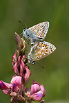 Common Blue Butterflies Mating, Polyommatus icarus, Darland Banks, Kent UK, pair together, on Sainfoin flower