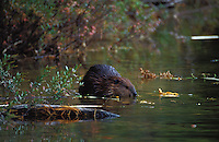 Beaver feeding on branches in Round Pond, Baxter State Park, Maine.