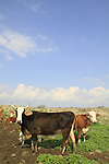 Golan Heights, cattle at Yehudiya Forest Nature Reserve