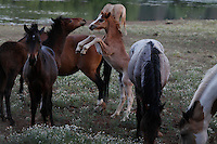 "A frisky, young foal rears up to play with his friend at the Wild Horse Sanctuary in California.<br /> Dianne Nelson has saved mustangs on a ranch in northern California at the Wild Horse Sanctuary.  ""It was in 1978 that the Wild Horse Sanctuary founders rounded up almost 300 wild horses for the Forest Service in Modoc County, California. Of those 300, 80 were found to be un-adoptable and were scheduled to be destroyed at a government holding facility near Tule Lake, California. The Sanctuary is located near Shingletown, California on 5,000 acres of lush lava rock-strewn mountain meadow and forest land. Black Butte is to the west and towering Mt. Lassen is to the east. ..Their goals:.Increase public awareness of the genetic, biological, and social value of America's wild horses through pack trips on the sanctuary, publications, mass media, and public outreach programs..Continue to develop a working, replicable model for the proper and responsible management of wild horses in their natural habitat..Demonstrate that wild horses can co-exist on the open range in ecological balance with many diverse species of wildlife, including black bear, bobcat, mountain lion, wild turkeys, badger, and gray fox..Collaborate with research projects in order to document the intricate and unique social structure, biology, reversible fertility control, and native intelligence of the wild horse."