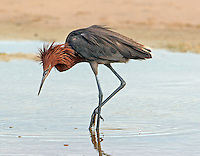 Adult reddish egret looks for minnows in shallow pool. Note shaggy feathers of head and neck.
