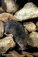 MU40-002z  Water Shrew - drinking from stream - Sorex palustris
