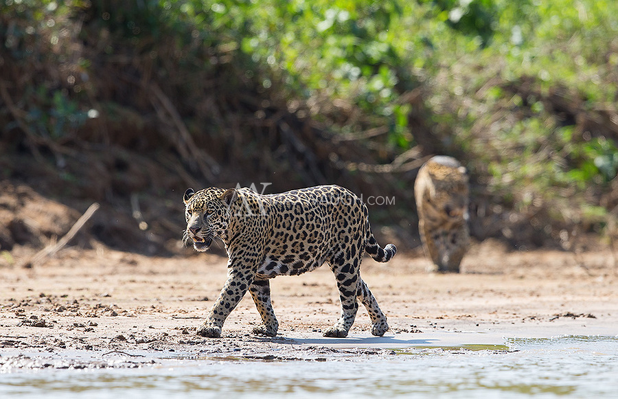 A couple of times, we saw jaguars coming together.  They didn't tolerate each other very well.
