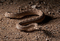 Sidewinder -Crotalus cerastes - Sidewinding. From the low desert where it is sandy and hot. These snakes are very common and very photogenic.