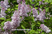 63821-21519 Lilac blooms  (Syringa sp) in spring at Lilacia Park, Lombard, IL