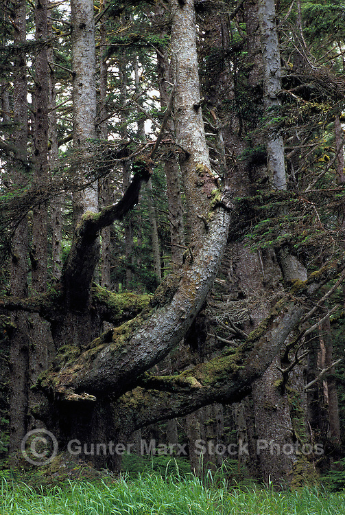 Haida Gwaii (Queen Charlotte Islands), Northern BC, British Columbia, Canada - Moss Covered Sitka Spruce (Picea sitchensis) Trees in Temperate Rainforest on Graham Island