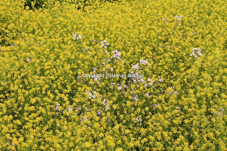 Golan Heights, Mustard flowers at Khan Juhader