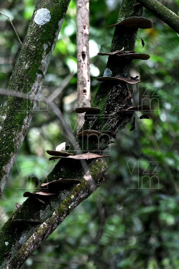 CALI - COLOMBIA - 20 - 06 - 2017: Hongo de Madera en el Parque de las Garzas en la ciudad de Cali (Pance) the Valle del Cauca, Colombia. / Wood Fungus, in the Park of the Herons in the city of Cali (Pance) in the Valle del Cauca, Colombia. / Photo: VizzorImage / Luis Ramirez / Staff. / Staff.