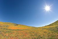 Sunburst above field of California Poppies, Eschscholzia californica, and Goldfields, Lasthenia chrysostoma, Antelope Valley California Poppy Preserve, Lancaster, California