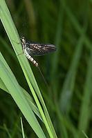 Große Eintagsfliege, Dänische Eintagsfliege, Maifliege, Männchen, Ephemera danica, mayfly, green drake