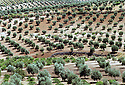 Syrie 2002<br /> Plantation d'oliviers dans le djebel Akrad<br /> Syria 2002<br /> Olive trees in djebel Akrad