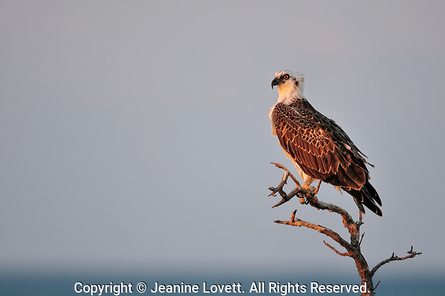 osprey portrait in eveing light