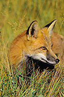 Red Fox (Vulpes Vulpes) Western N.A Fall.