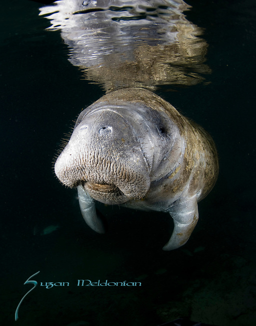 Florida Manatee, endangered species