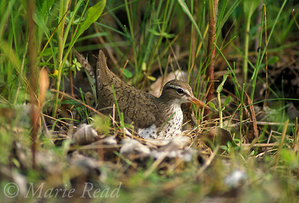 Spotted Sandpiper (Actitis macularia) incubating on its nest on the ground, New York, USA<br /> Slide # B53-134