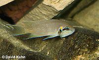 1122-1006  Brichardi Cichlid, Lake Tanganyika Cichlid, Neolamprologus brichardi  © David Kuhn/Dwight Kuhn Photography