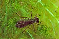Kleine Moosjungfer, im Wasser lebende Larve, Nymphe, Libellenlarve, Leucorrhinia dubia, Leucorhinia dubia, White-faced Darter, Small Whiteface, larva, larvae