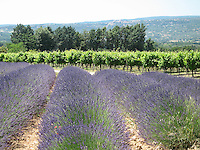 Lavender fields and vineyards, Provence, France